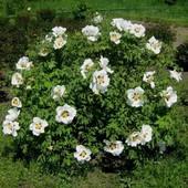 Деревовидний піон - насіння 5шт