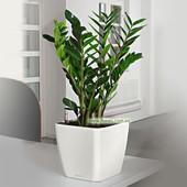 Замиокулькас замиелистный (Zamioculcas zamiifolia) - Долларовое дерево,комнатное растение