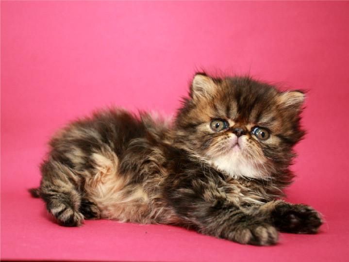 Персидский котенок мальчик фото №1