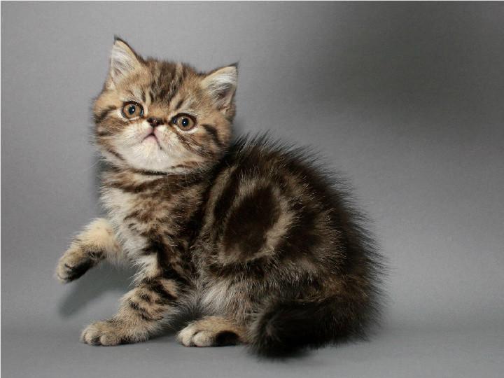 Мраморный котёнок-экзот / мальчик с документами фото №1