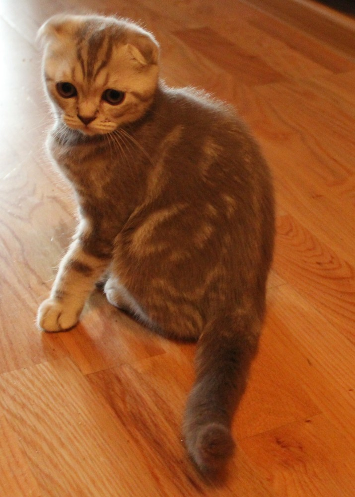 Шотландский вислоухий котёнок. фото №1