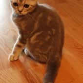 Шотландский вислоухий котёнок.