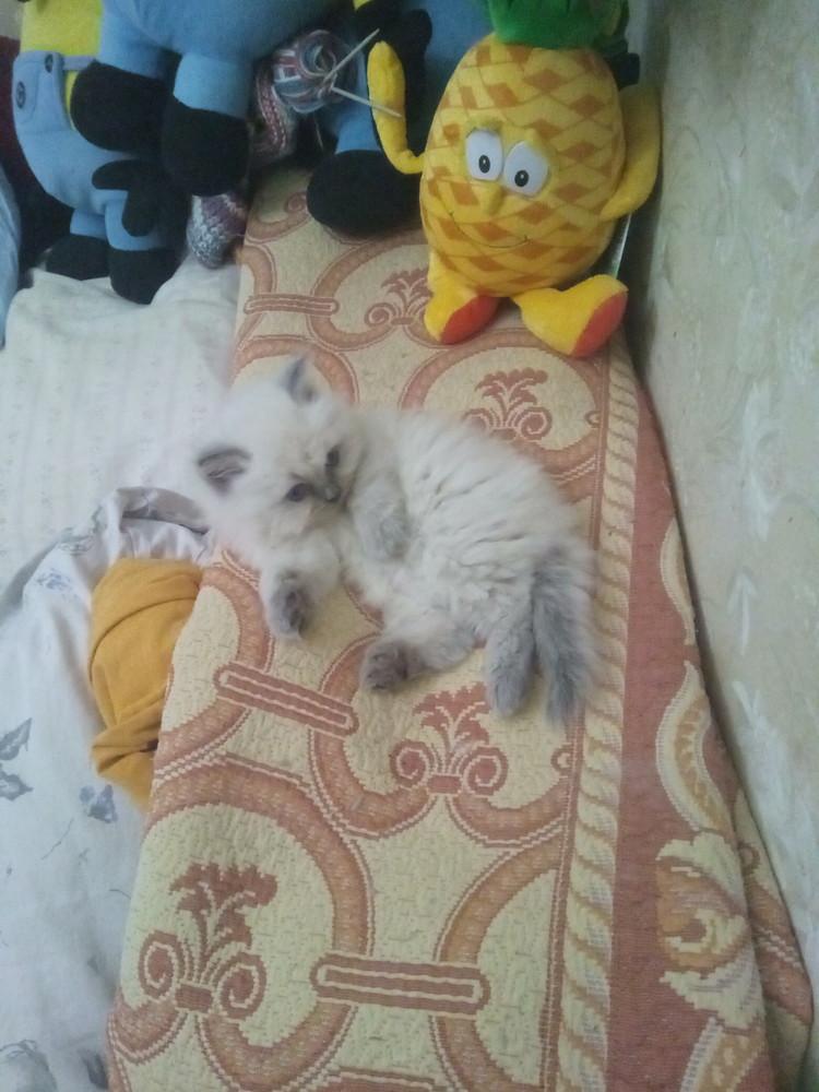 Продаётся милый котёнок-девочка! фото №1