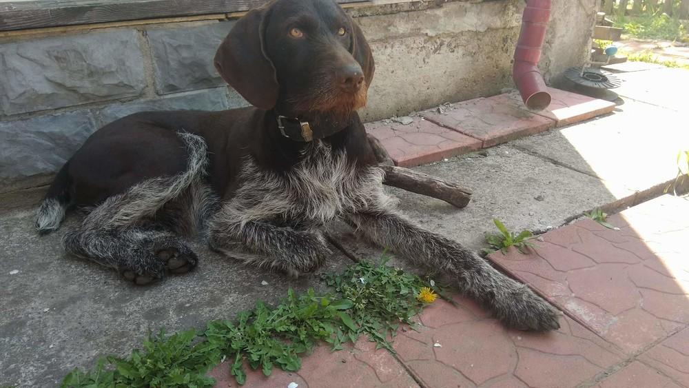 Дратхаар щенок 1.5 месяца. На фото отец фото №1