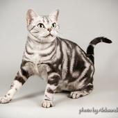 Кошка Американская короткошерстная в любящую семью