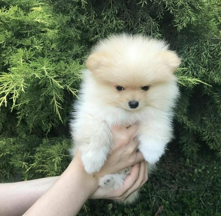 Продам щенка померанского шпица фото №1