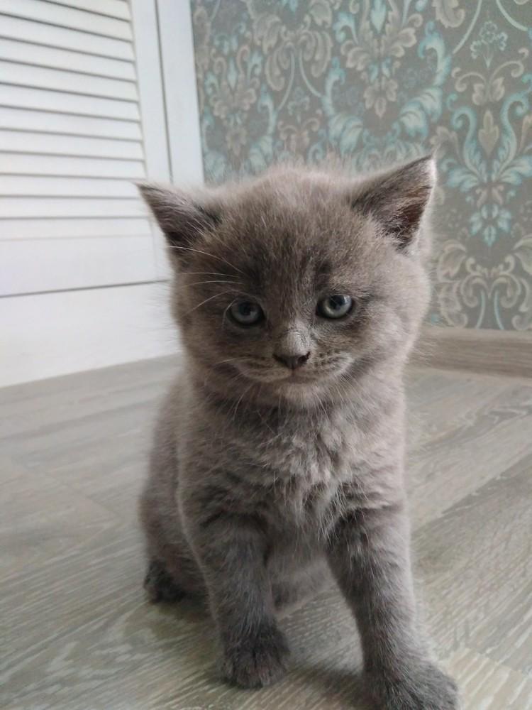 Продам Британскую кошечку фото №1