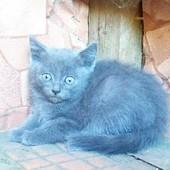 Котята полу британские мраморный и серый