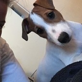щенок парсон рассел терьер, мальчик 3 месяца