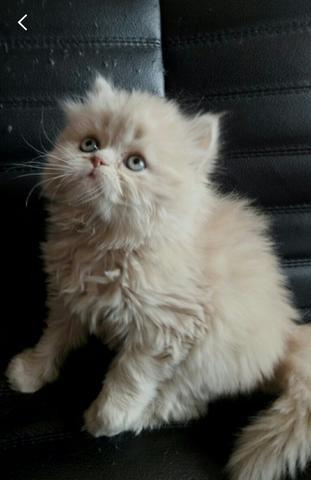 Персидские котята фото №1