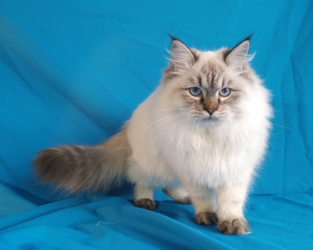 Котик сибирской невской маскарадной кошки фото №1