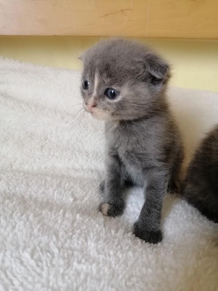 Британські кошенята фото №1